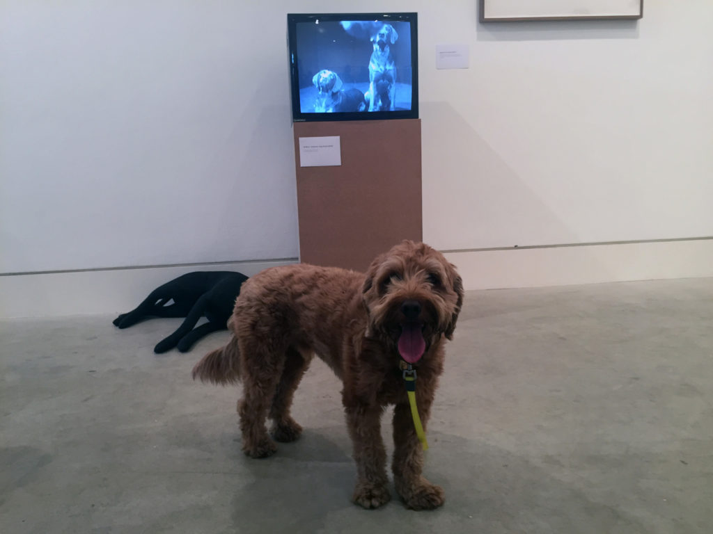 Pico reflecting on a film by William Wegman selected by art critic Louisa Buck's dog Samson.