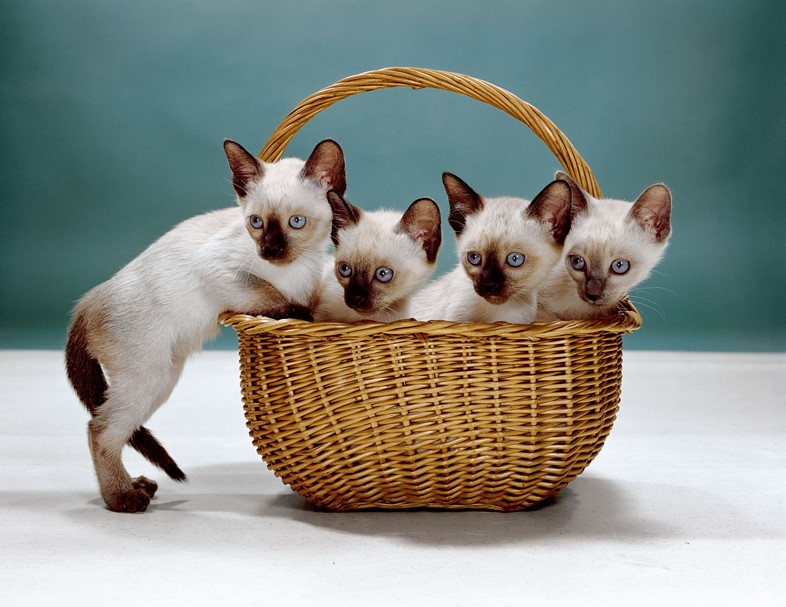 Walter Chandoha, Siamese Kittens, New Jersey (1962). Photo courtesy of TASCHEN,©2019 Walter Chandoha.